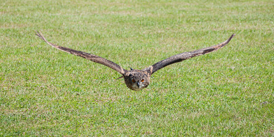 An owl glides silently over Lowcountry grass at the Center for the Birds of Prey.