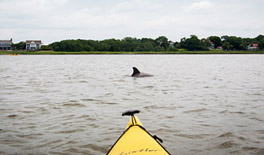 Dolphin in front of kayak tour Charleston
