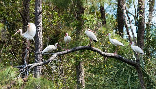 A group of Ibis perch on a branch near Bald Head Island © 2014 Audra L. Gibson