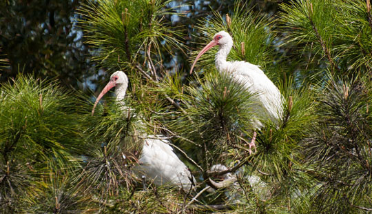 Ibis rest on a branch near Bald Head Island © 2014 Audra L. Gibson