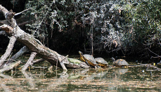 Yellow Bellied Slider Turtles take on some sun during our Eco Tour