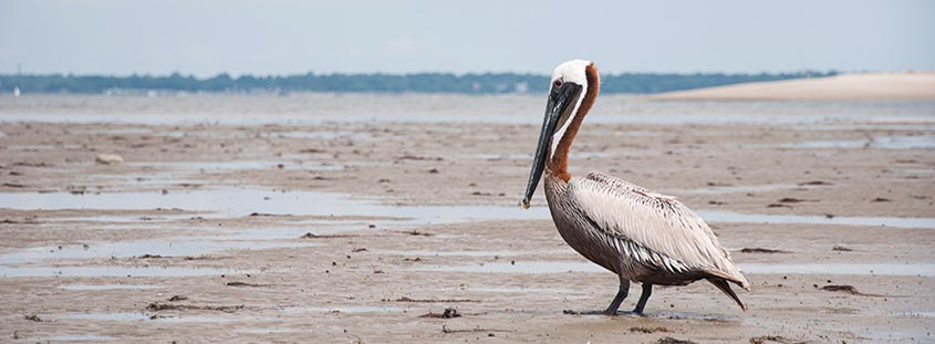 A pelican rests on Crab Bank Island just off Shem Creek in Mt. Pleasant. © 2013 Audra L. Gibson. All Rights Reserved.