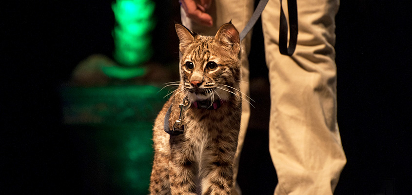 A bobcat joins the Busch Wildlife team on stage at the Charleston Music Hall. © 2015 Audra Gibson