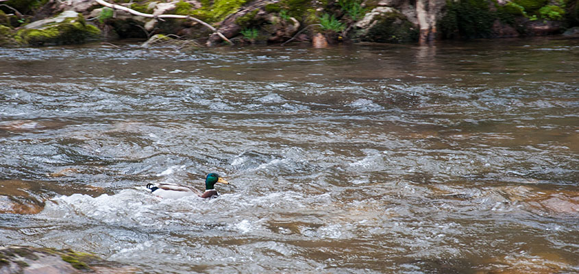 Duck in the water Virginia Creeper Trail. © 2016 Audra L. Gibson