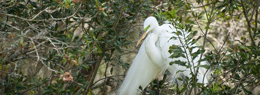 Snowy Egret in the Audubon Swamp at Magnolia Plantation.